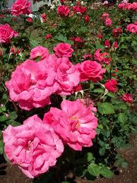 rose garden imaginary bicycle