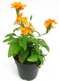 buy aboli flower plant pack of 3 online at best prices in india