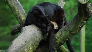 image black panther tree trunk forest face down green moss