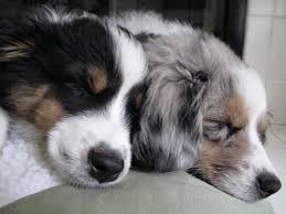 is an australian shepherd smart best 25 aussie dogs ideas on pinterest mini aussie mini aussie