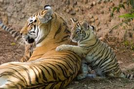 frolicking tiger cubs their denver debut zooborns