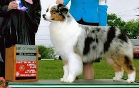 australian shepherd york legacy australian shepherds breeder of top quality australian