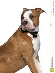 american pit bull terrier zucht pit bull boxer mischte zuchthund stockfoto bild 46742172