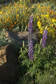 san francisco native plants lafayette landscaping inspired by natives san francisco chronicle
