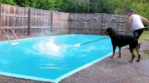 rottweiler jump in swimming pool part 2 youtube