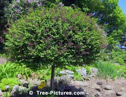 lilac tree in bloom photo