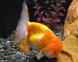 lionhead goldfish modern farming methods