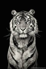 44 cool tiger pictures to instill awe and