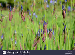 flowers in garden images buds of iris blue flowers in garden close up stock photo royalty