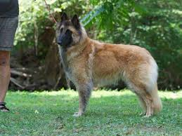 belgian sheepdog breeders in ohio aftershock belgians belgian tervuren puppies for sale
