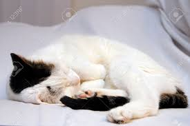 sleeping on short hair cute adult white with black and brown patches short hair cat