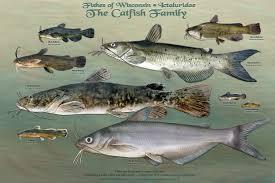 wisconsin u0027s fish u2013 all of them u2013 star in new poster series