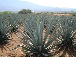 plants native to mexico agave cultural landscape mexico