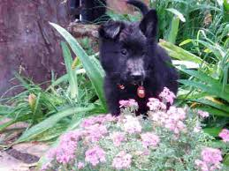 belgian sheepdog groenendael breeder groenendael belgian shepherds in south africa