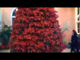 poinsettia tree poinsettia tree