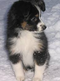australian shepherd puppies 7 weeks best 25 mini australian shepherds ideas on pinterest mini