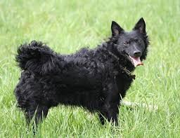 belgian sheepdog varieties life span of belgian shepherd dog