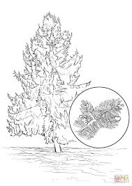 sitka spruce coloring page free printable coloring pages