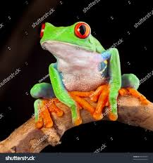 red eyed tree frog clipart amazon rainforest pencil and in color
