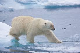 jenny ross polar bear photographer describes uncertain fate
