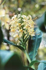 Tropical Fragrant Plants - the south u0027s best fragrant plants for your garden evergreen