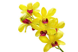 yellow orchid yellow orchid stock photo image of flower bright 10751338