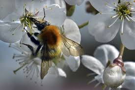 wild bees in the u s may soon be considered endangered