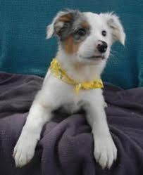 australian shepherd quesnel my baby boy pit bull and australian cattle lab mix i have an