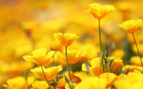 yellow flowers beautiful yellow flowers wallpapers for iphone is 4k wallpaper