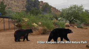 Texas Traveling images Bears find refuge in arizona after life in texas traveling act jpg