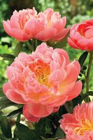 peonies flower beauty peony in start an easy back yard flower