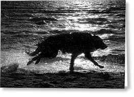 belgian sheepdog wolf mix belgian shepherd groenendael running along sea shore photograph by