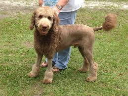 bedlington terrier shaved my favorite doodle