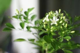 Fragrant Indoor House Plants - top fragrant houseplants
