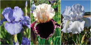 Irises How To Plant Grow by 7 Expert Tips For Growing Bearded Irises How To Care For Iris Plants