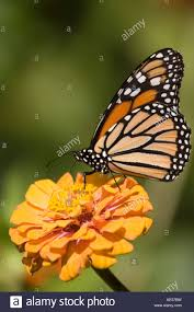 monarch butterfly with wings folded on orange yellow flower stock