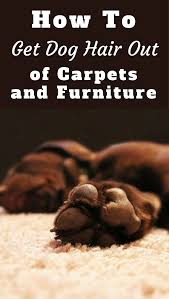 how to get dog hair out of carpet and furniture