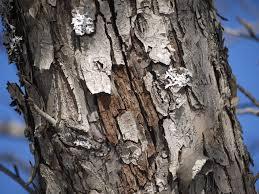 White Oak Tree Bark Maple Tree Diseases On The Bark Diseases Of Maple Trees That