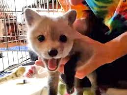 Fox In The Barn Couple Rescue Baby Fox Video People Com