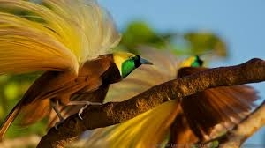 bbc earth the mysterious dating dances of the birds of paradise