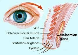 Eye Ducts Anatomy Meibomian Gland Disease Mgd Evaporative Dry Eyes U2013 Prevent