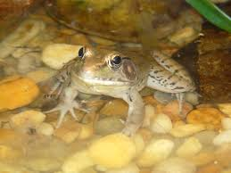 the online zoo southern leopard frog