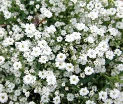 babys breath baby s breath seeds gypsophila repens