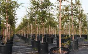 houston tx wholesale trees buy containerized trees