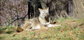 Coyote In My Backyard After Coyote Sighting In Bellevue Owners Are Urged To Keep Pets