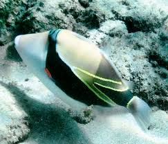 prized powerful triggerfish is tucked into sea of cortez