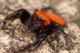 halloween jumping spider jeepers creepers where u0027d ya get those multilayered retinae