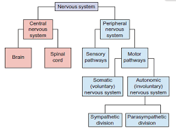 nervous system concept map snippd the central nervous system