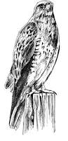 free images branch wing black and white line bird of prey