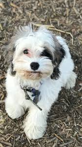 Do Cockapoo Dogs Shed A Lot by Best 25 Cocker Spaniel Poodle Mix Ideas On Pinterest Cocker